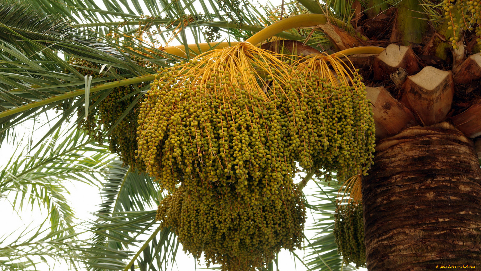 Плод финиковая пальма в домашних условиях